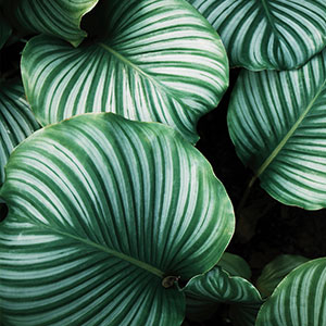 Striped green leaves